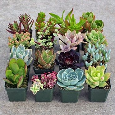 """Soft Succulent Sample Collection - Large: 16 of our best tender cultivars (16 plants total). Each is planted in its own 2.5"""" container. These plants will not tolerate frost. $67.50"""