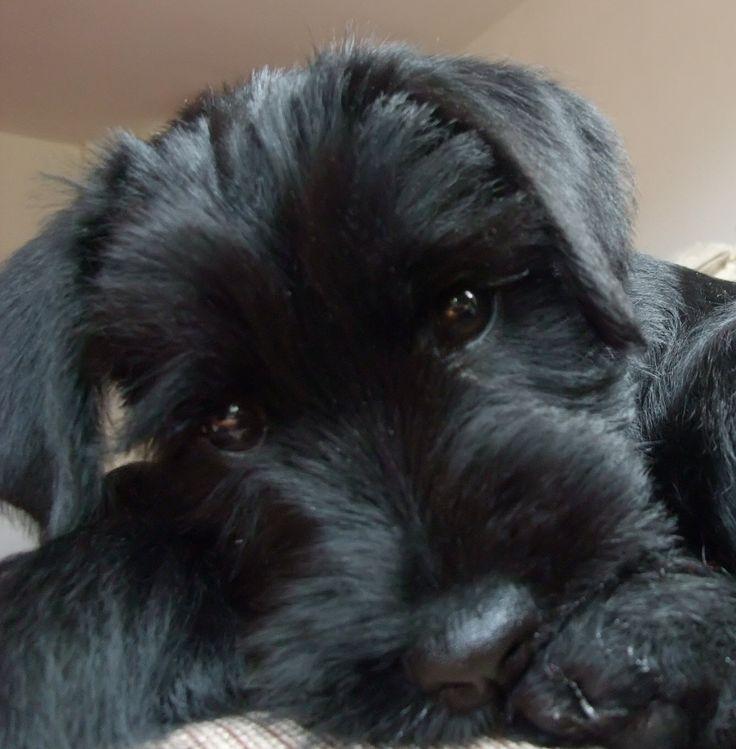 Black Standard Schnauzer Puppy Close up. Reminds me of my cutie!
