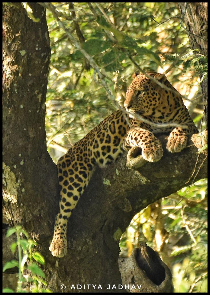 Leopard, leopard on tree, jungle cat, indian leopard, Kabini, Kabini national park