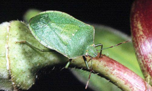 Southern Green Stink Bug http://entnemdept.ufl.edu/creatures/veg/bean/southern_green_stink_bug.htm