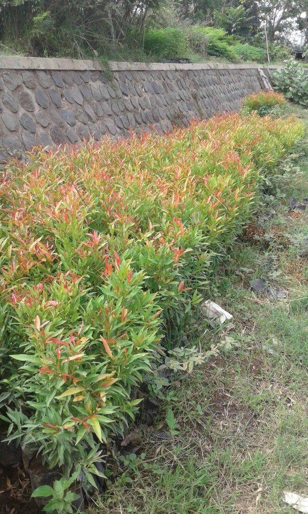 Gambar Bunga Pucuk Merah Manfaat Tanaman Pucuk Merah Biasanya Digunakan Sebagai Tanaman Hias Karena Keunikan Dan Keindahan Dari Di 2020 Menanam Bunga Tanaman Bunga