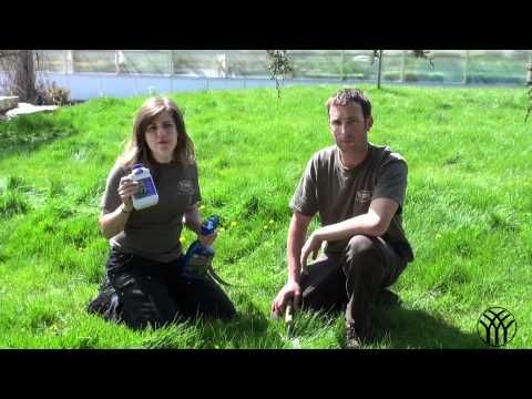 Dandelion Weed Control in Lawns - Mickman Brothers Landscape Maintenance - YouTube