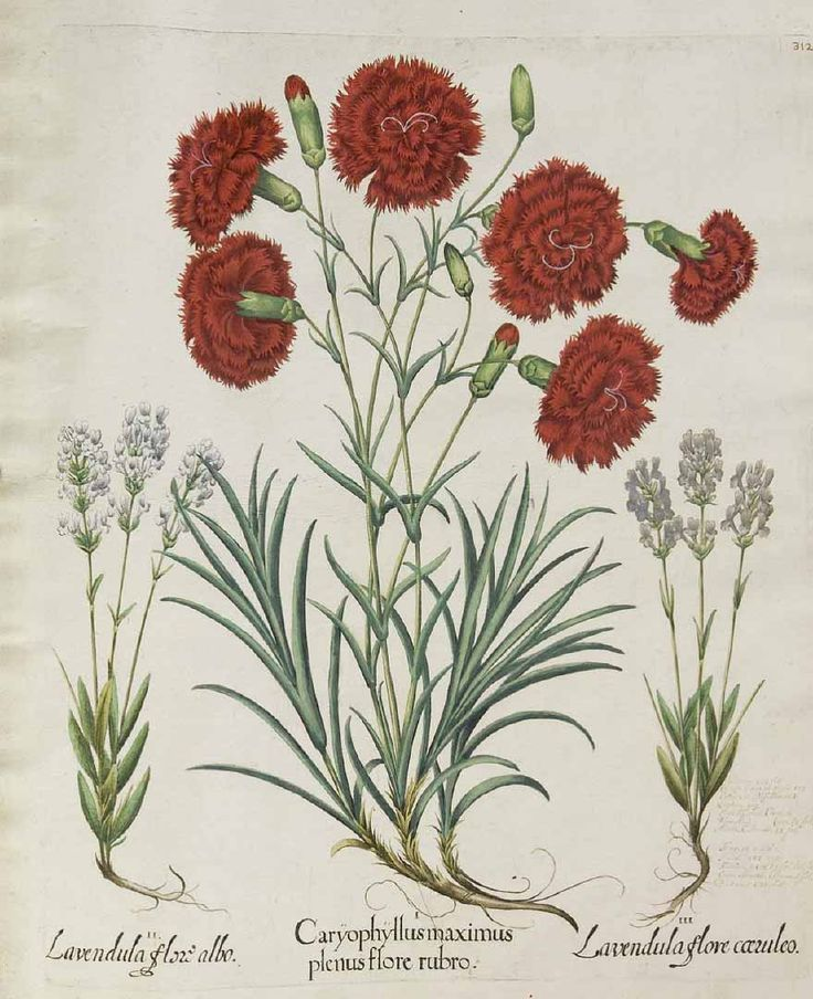 dianthus caryophyllus coloring pages - photo#29
