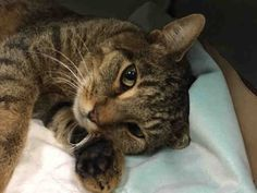 """TO BE KILLED – ANOTHER CHANCE FOR SWEET NICK – ATTENTION SEEKING & BEGINNER RATED! **POSSIBLE SPINAL INJURY/NERVE DAMAGE** Brooklyn Center ♥ Nick (A1097149) is """"incredibly friendly and his health is improving! He rolled on his head and partially on his back while being petted, stuck his arms out in an adorable stretch, and readily accepted some head and chin scratches. He always seems HAPPY TO SEE PEOPLE. He is truly a FRIENDLY, GENTLE & ADORABLE KITTY! Nick needs follow up medical care."""""""
