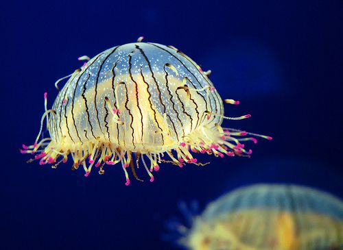 This Olindias Formosa, or flower hat jellyfish, is a rare species and is generally small in size with a width of just about six inches. It is very striking with shades of purple and orange colours. It has appearance of having a neon pink flower hat on its head because its tentacles, when not in use, coil up and sticks to the rim. It has a painful sting but non-lethal to humans. It mainly feeds on small fish. It inhabits Brazil, Argentina and Japanese waters.