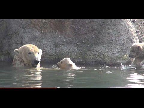 Zwemmende ijsbeertweeling ( geboren 02-12-2014 ) Diergaarde Blijdorp - YouTube