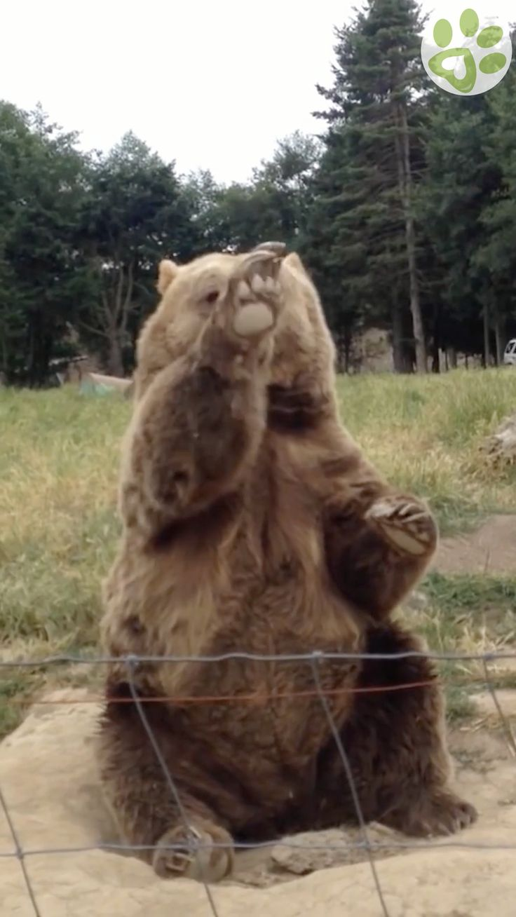 See amazing bears display their natural instincts. Bears
