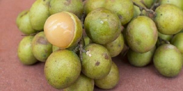 Quenepa is commonly know as Spanish lime and this amazing fruit has the ability to cure insomnia instatnly and it has amazing brain boosting abilities. Quenepa fruit Quenepa originates from the northern parts of South America but it can also be found in the coasts and dry forests of Central America and the Caribbean. People …