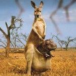 Rhino in a kangaroo pouch