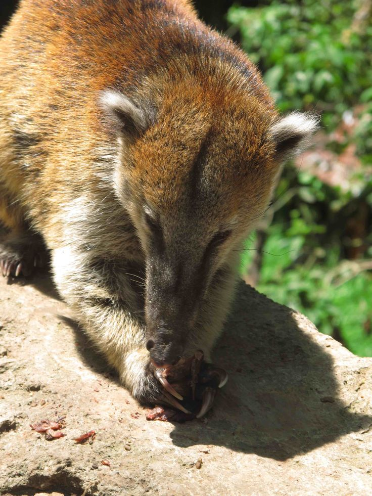#Coati #eating #snacks in #Los #Nevados #National #Park, #Cocora, #Colombia