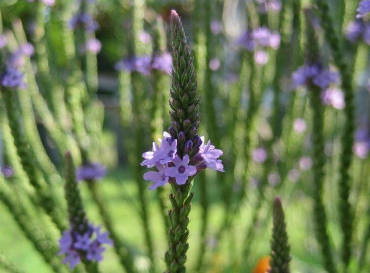 Verbena officinalis,  la pianta che vince insonnia e stanchezza primaverile