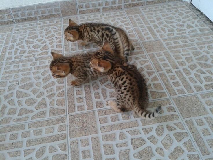 Gatos Bengal - Con Papeles-