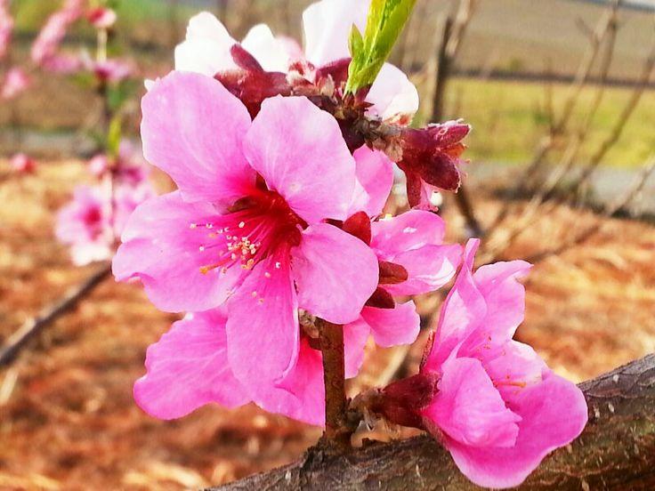 고사리농원 분위기를 살려주는 아름다운 복숭아꽃이 마음껏 뽐내는ᆢ