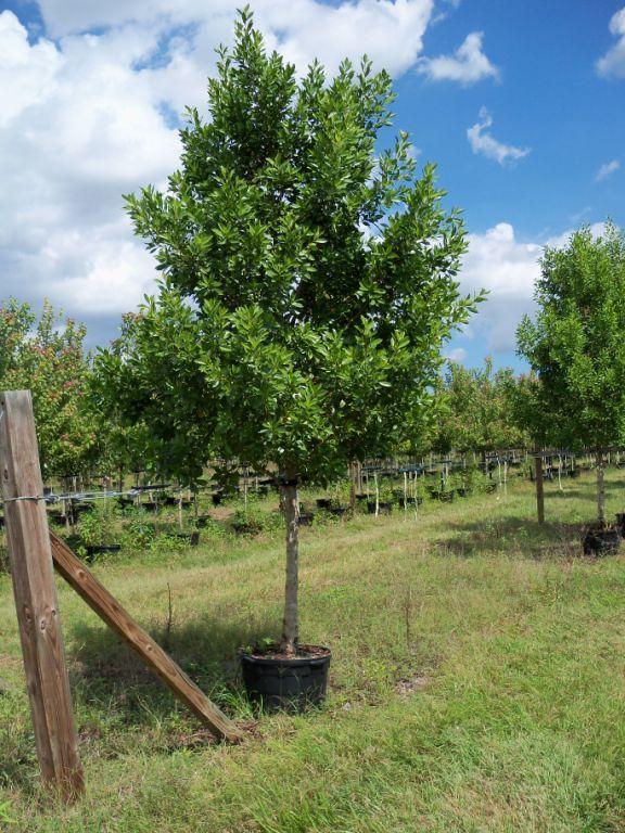 Green Buttonwood Conocarpus Erectus Native To Florida
