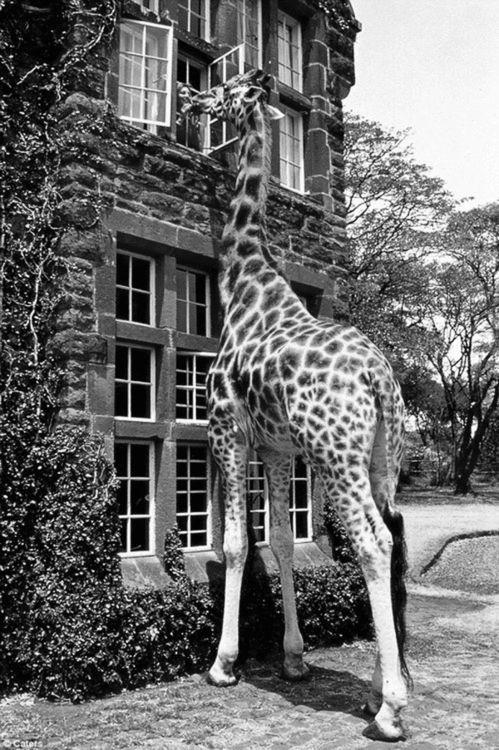 What light shines through yonder window? Tis I giraffe..