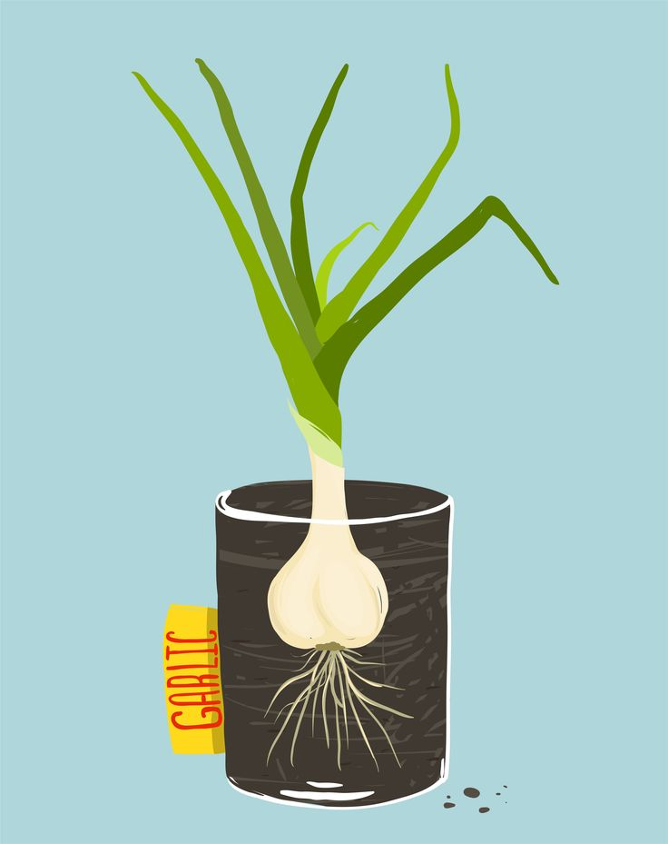 Growing Garlic at Home: 5 Simple Methods  http://garlicshaker.com/blog/how-to-grow-garlic-at-home-5-simple-methods/