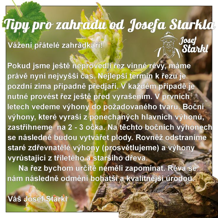 Tipy pro zahradu od Josefa Starkla - Řez révy vinné