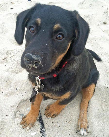 Best 25+ Rottweiler mix ideas on Pinterest | Rottweiler ...