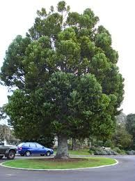 Image result for kauri tree
