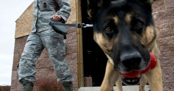 How Much Do You Know About Four Legged Soldiers? Military Dog Quiz. These dogs are fantastic and help humans in so many ways!!! #dogs #pets #military #militarydogs #fourleggedsoldiers