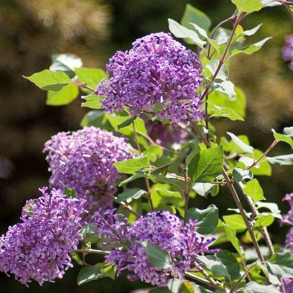 Bloomerang Dark Purple Lilac Buy At Nature Hills Nursery Bloomerang Lilac Lilac Bushes Lilac Plant
