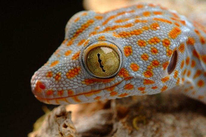 A nice picture of a Tokay Gecko's face and eyes.