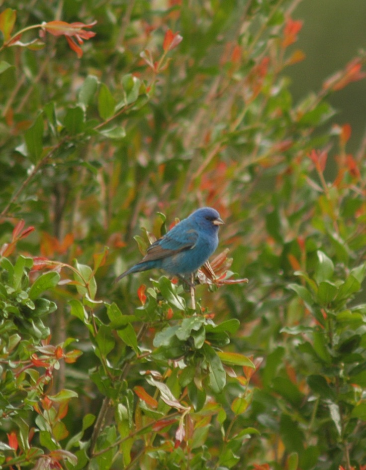 Bluebirds in the backyard Cool photos, Blue bird, Animals
