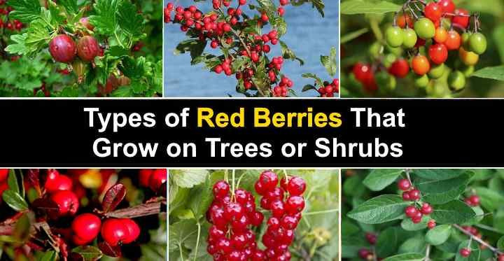 Types Of Red Berries That Grow On Trees Or Shrubs Types Of Red Berry Bushes Berries