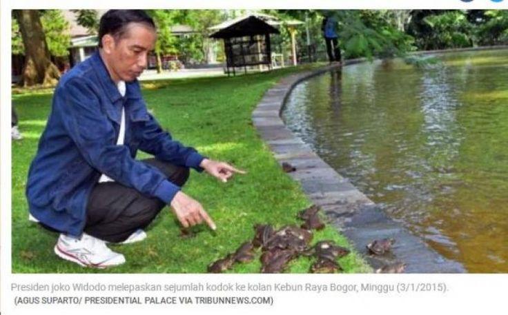 Ribuan Kodok Milik Jokowi Mati Diterkam Biawak  KONFRONTASI - Ketika masih menjabat Gubernur DKI Jakarta Presiden Joko Widodo gemar memelihara kodok.  Kodok-kodok itu dipelihara di dalam kolam ikan rumah dinas gubernur DKI di depan Taman Surapati Menteng Jakarta Pusat.  Jumlah kodoknya banyak. Berwarna hijau tua serta berukuran besar-besar.  Bagi Jokowi suara kodok menghantarkannya pada suasana desa yang tenang. Apalagi kala hujan.    (baca: Di Balik Keputusan Jokowi Menetap di Istana…