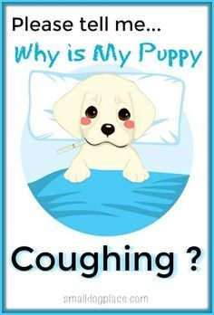 Why is My Puppy Coughing? There are many reasons for a puppy to cough or gag. http://smalldogplace.com/puppy-coughing.html