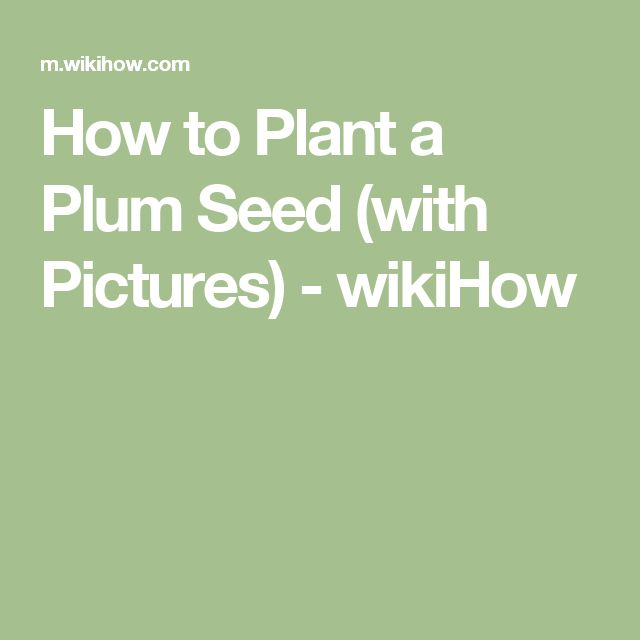How to Plant a Plum Seed (with Pictures) - wikiHow