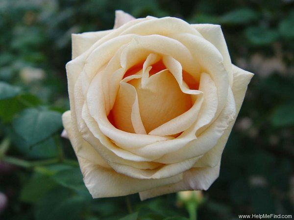 memorial day rose reviews