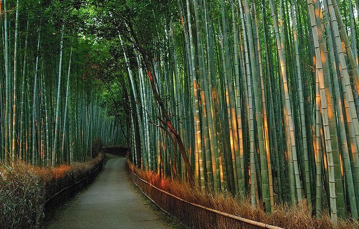 La forêt de bambou d'Arashiyama à Kyoto, Japon