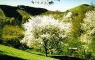 de boom staat in volle bloei