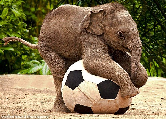 The Asian elephant, called Luk Chai, seemingly smiles as he contentedly chases the massive football around his paddock. The photos were taken by amateur photographer Renee Doyle while on a family visit to Taronga Zoo, in New South Wales,