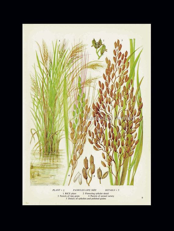 Rice Plant Cereal Grain Food Chart Botanical Lithograph Illustration For Your…