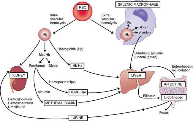 Image result for intravascular hemolysis | Sangre | Med school