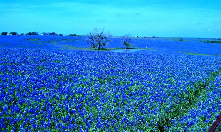 Absolutely stunning!Pictures Ideas, Nice Pictures Info, Absolute Stunning, Website, Baby Pictures, Bluebonnets, Beautiful Pictures, Nice Pictures Resources, Fields