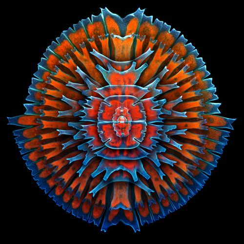 Specimen: Single-cell fresh water algae (desmids). Composite image including, concentric from the outside: Micrasterias rotata, Micrasterias sp., M. furcata, M. americana, 2x M. truncata, Euastrum sp. and Cosmarium sp. by Dr. Igor Siwanowicz