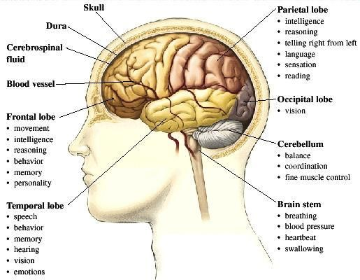 Map Of Brain Map of Brain | Anatomy | Multiple sclerosis awareness, Brain facts