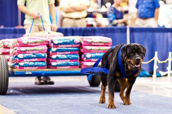 Weight Pulling - Miss Daisy, won her weight category, pulling 1942 lbs.