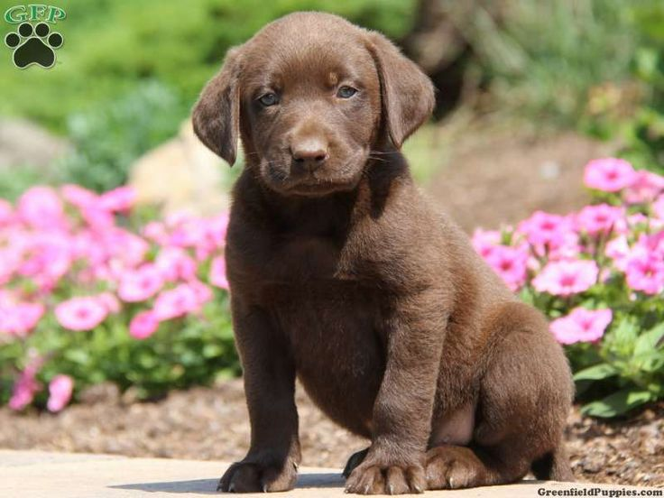 Labrador Retriever-Chocolate Puppy