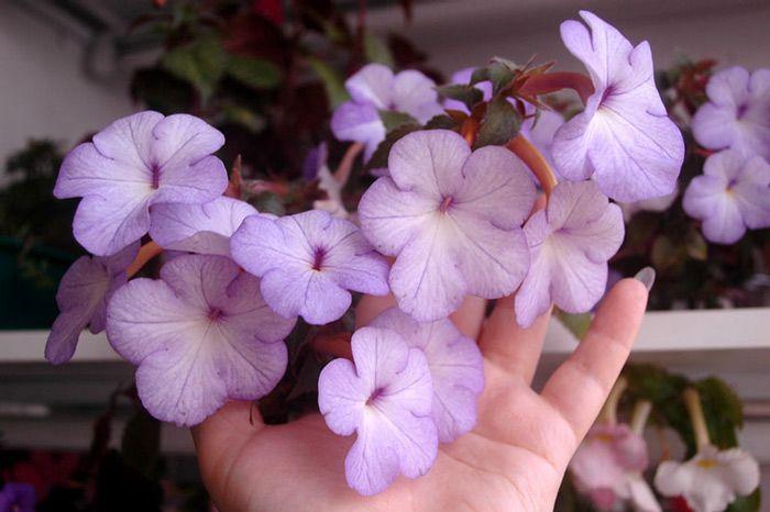 Cattleya  Ахименес (Achimenes) - Страница 5 - Форуми за цветя FlowersNet.info