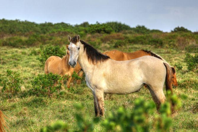 Wild Horses at Lakufa'anga Cliffs - Eua, Tonga