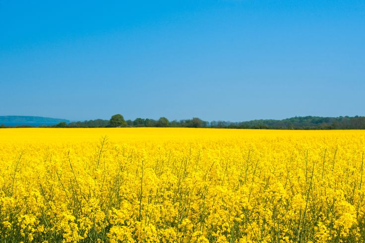Landscape with a rapeseed field - Landscape with a yellow rapeseed field in the summer