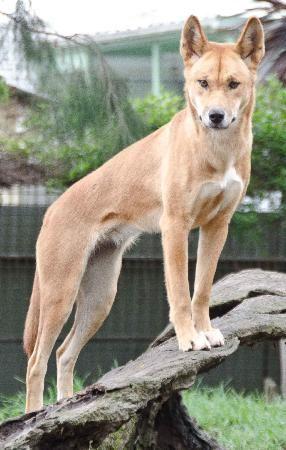 Featherdale Wildlife Park #Sydney #Australia Dingo