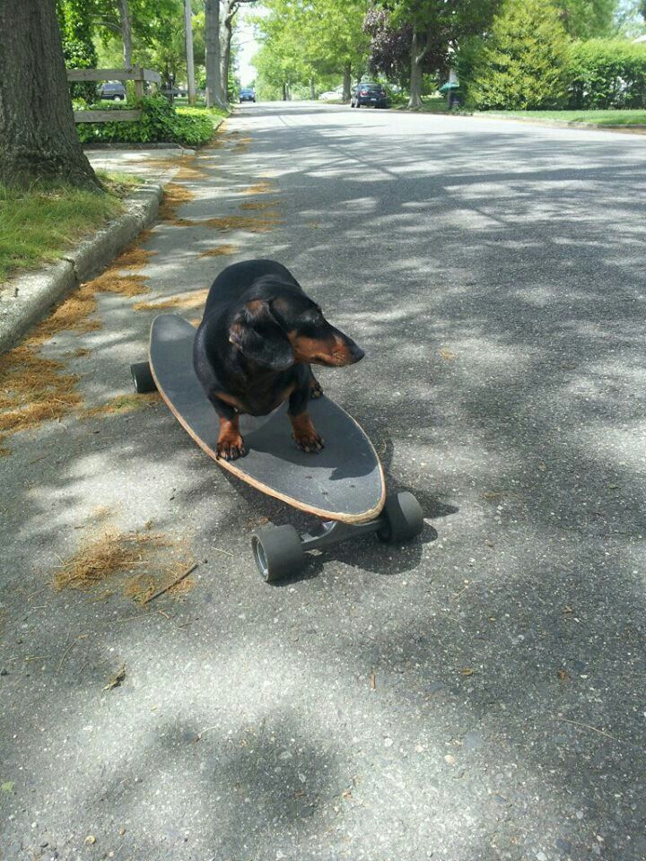 Henry riding a long board! - Gustav's Dachshund World and Friends