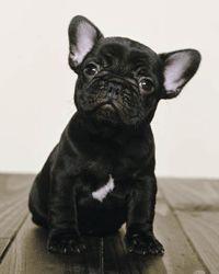 Little bat dog.