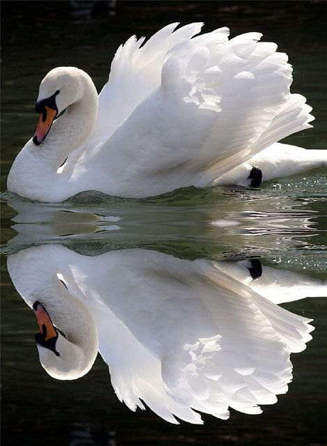 Beautiful swan and it's reflection.