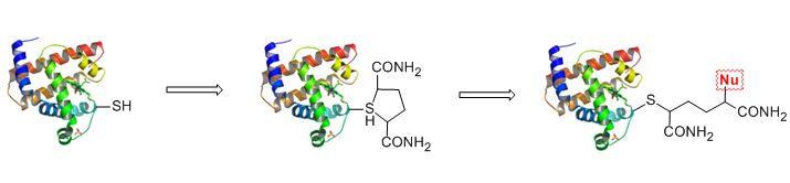 http://www.bocsci.com/bioconjugation.html Bioconjugation is the process of joining of biomolecules to other biomolecules, small molecules, and polymers by chemical or biological means to form a novel complex having the combined properties of its individual components. Compounds, natural or synthetic, with their individual activities, can be chemically combined together to create unique characteristics. Modified biomolecules may have diverse utilizations, for example, tracking cellular…
